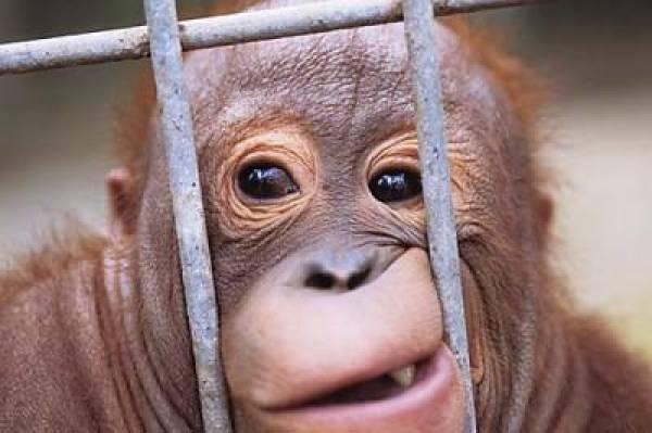 Eli The Orangutan