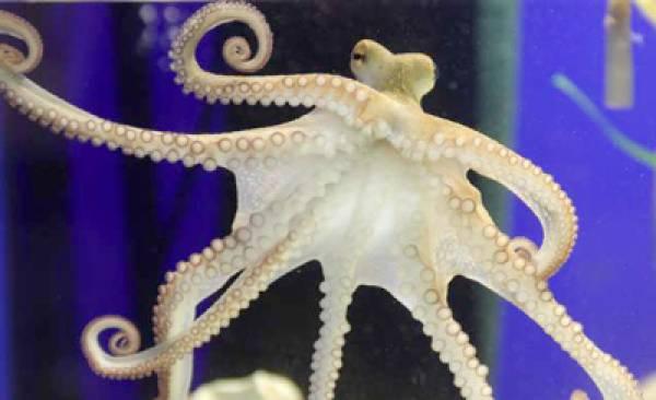 Paul The Octopus Successor