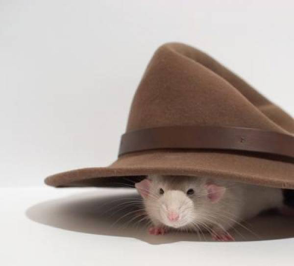 Internet Poker Rat