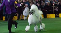 Westminster Dog Show Betting Odds 2021